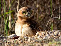 Burrowing owl habitat needs protection in South and East Boise.
