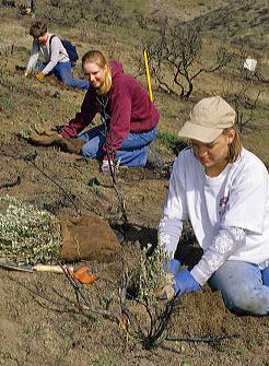 Student volunteers planting sage brush in an area burned by a wild fire, Idaho. student, teens, volunteers, plant, sage brush, burn, forest fire, range, wild, idaho, teenagers