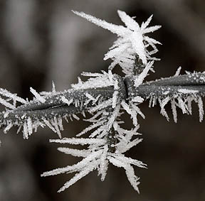 Prettiest barbed wire around covered in hoar frost.