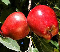 Red delicious apples hang from a tree branch in Canyon County, Idaho. red apple, apple, fruit, produce, apple tree, tree, orchard, grow, agriculture, food, red delicious, canyon county, idaho